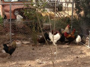 Rooster behaving badly